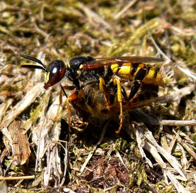 Philanthus triangulum, Ryde  Cat James