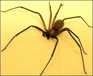 Brown recluse spider, Loxosceles reclusa