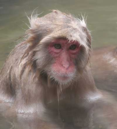 Japanese macaque © Richard Forward
