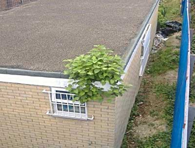 Knotweed © IVM Ltd