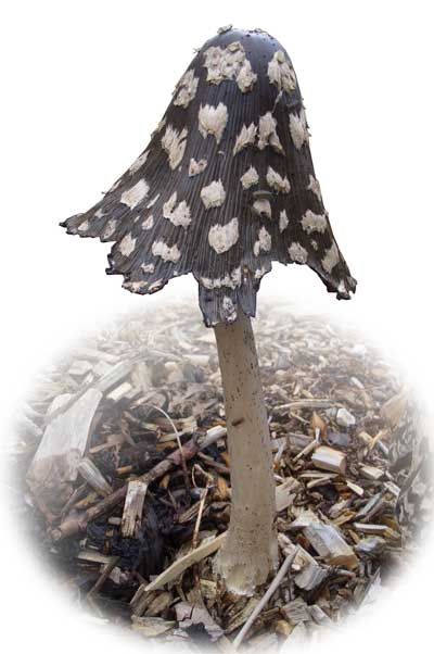 Magpie Inkcap (Coprinus picaceus) (c) Cat James