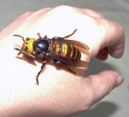 The Asian Giant Hornet, Vespa mandarinia