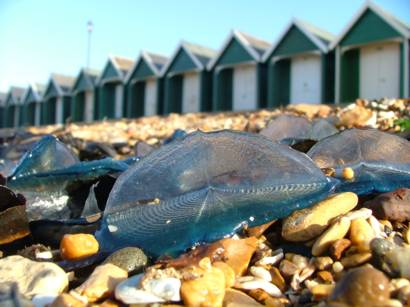 Velella velella, the by-the-wind sailor (c) Richard Temple