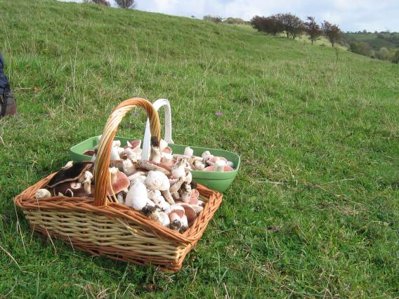 A basket of field mushrooms (credit: Colin Pope)